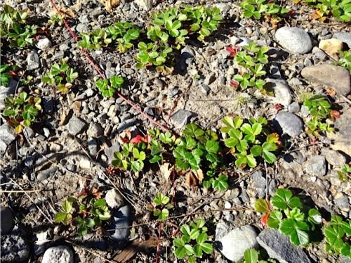 My eryngiums struggle here while beach strawberry thrives.