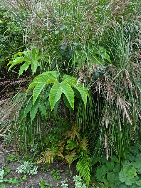 Tetrapanax, ferns, grasses (Allan's photo)