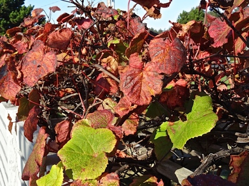autumnal grape leaves (Allan's photo)