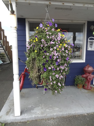 Don Nisbett's hanging basket...battered by the storm but still going. (The other one was a goner.)