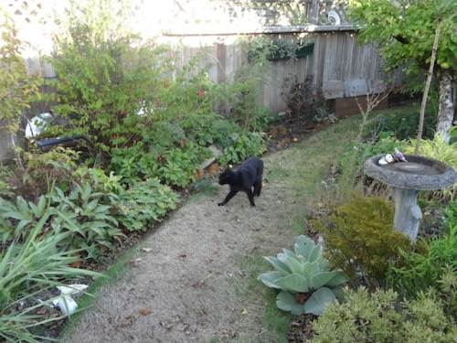 My neighbour, Onyx, strolling through the garden