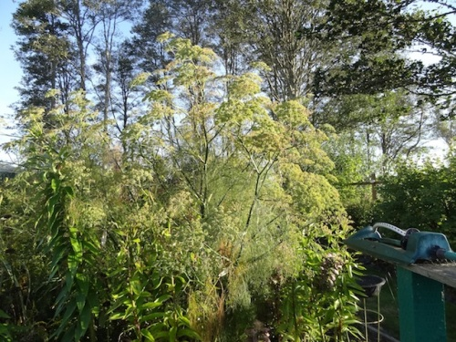 "It's behind this fennel, which I can't cut down as it is a ""stop the eye"" plant near the edge of the garden."