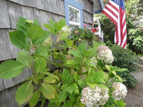 hydrangea outside the garden