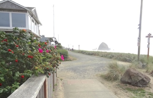 rugosa roses with hips and flowers, with Haystack Rock