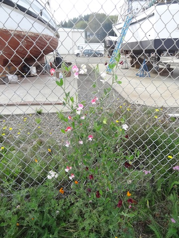 sweet peas on the chainlink fence