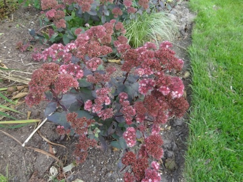 I'm loving Sedum 'Strawberries and Cream'