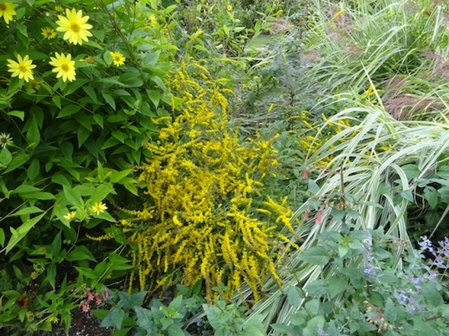 """center"""" Solidago 'Fireworks. The whole garden is blown about and whirl-y."""