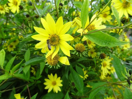 Bees were all over the Helianthus 'Lemon Queen'.