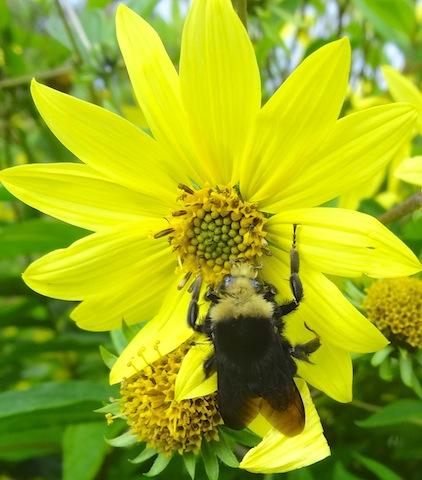 a big bumble bee