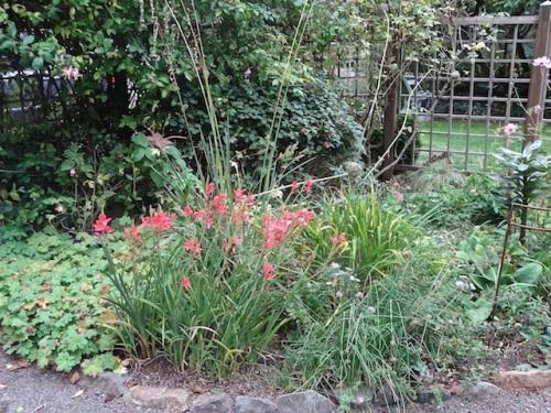 Schizostylis brightening up the garden.