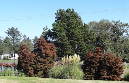 lower lawn with Cryptomeria and pampas grass