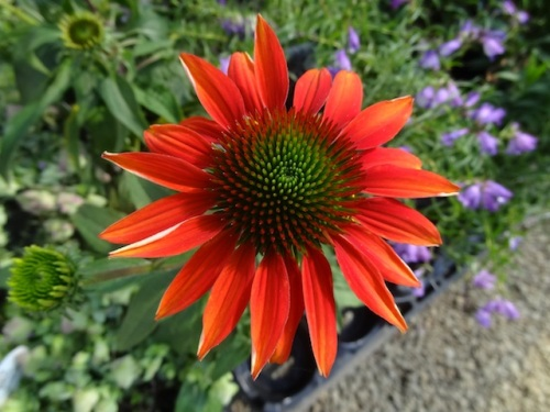 Echinacea 'Cheyenne Spring'