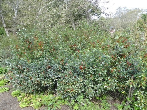 a deciduous ilex which will be stripped of its berries by birds soon after its leaves fall