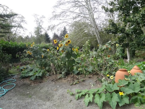 At the west end of the driveway, sunflowers and squash have all volunteered from last year's compost pile. The recent 70 mph windstorm knocked over most of the sunflowers.