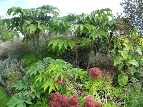 Tetrapanax in the front border
