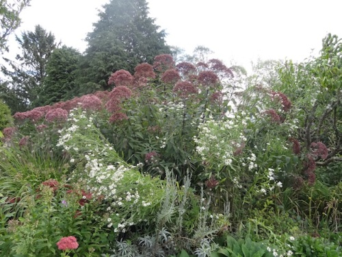 Eutrochium (used to be Eupatorium!), AKA Joe Pye weed, with Boltonia asteroides.