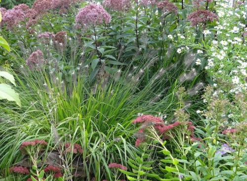 I was smitten with the little white tufts on this pennisetum.