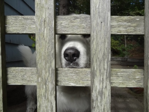 First, I petted Bella's nose through the back yard fence.