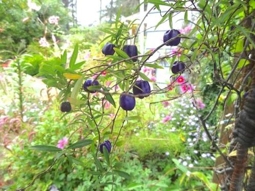 Billardia longiflora on the arbor