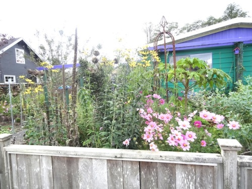 front garden with cosmos, Coreopsis 'Flower Tower'