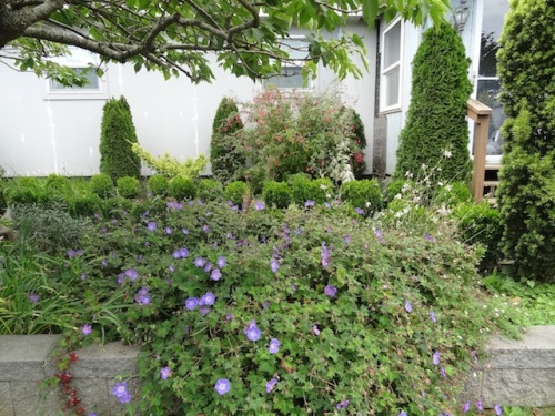 front garden with Geranium 'Rozanne'