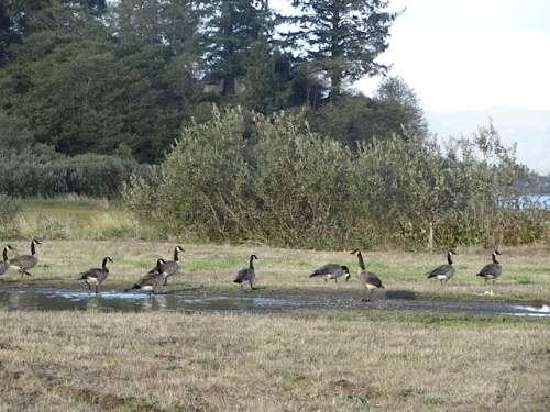 We saw these geese at the east end of the marina.