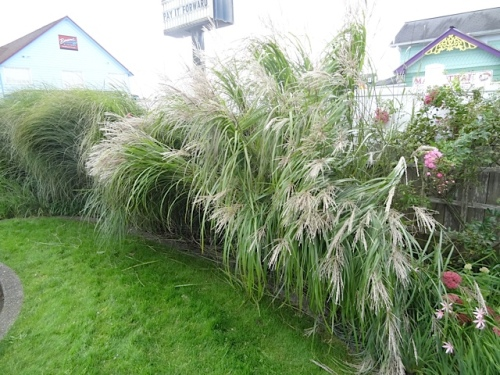 The Miscanthus is leaning over the lawn, which usually does not start till autumn storm season.
