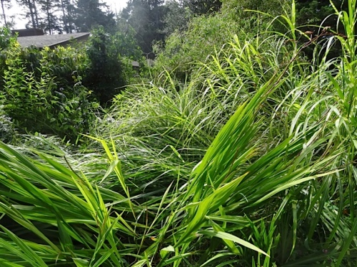 The windswept miscanthus will just have to stay this way.