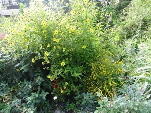 Helianthus 'Lemon Queen' leaning far forward.
