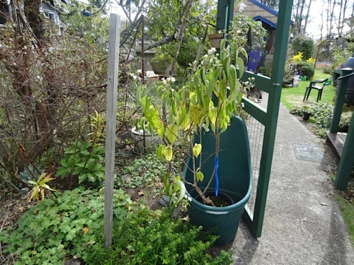 The heptacodium (seven sons tree) really needed to get into the ground.
