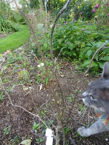 Smokey examined a sad hydrangea aspera. I moved it here this summer from a spot that was too dry, and I still have hope.