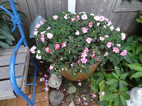 double impatiens in a pot