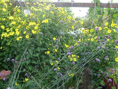 Helianthus 'Lemon Queen' and Verbena bonariensis