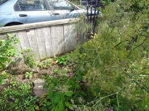 That meant digging out this big fennel which I have wanted to remove for quite some time.