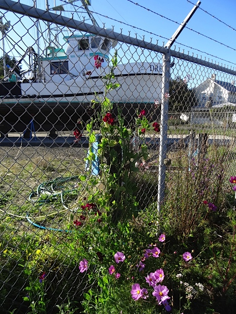 I had tried growing sweet peas on the chainlink fence, and some of them have done well. This one (Black Knight) is almost to the top. More next year!