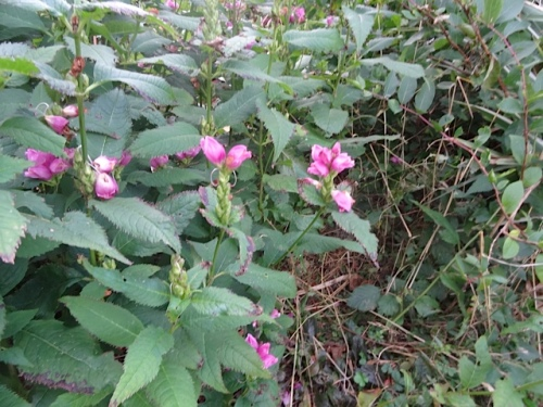 near the fire circle: Chelone (pink turtlehead) that I intend to spread around to assorted gardens this autumn.