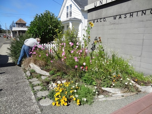 deadheading our Ilwaco Post Office garden