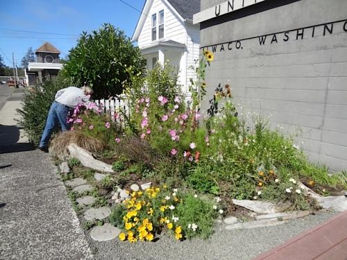 deadheading our Ilwaco Post Office garden