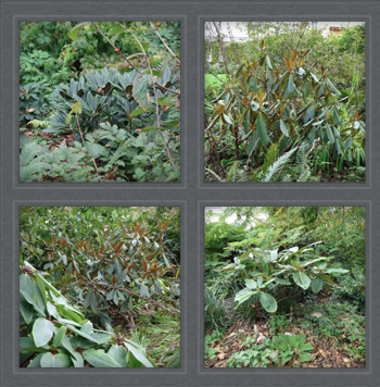 This time, I paid attention to the collection of rhododendrons.