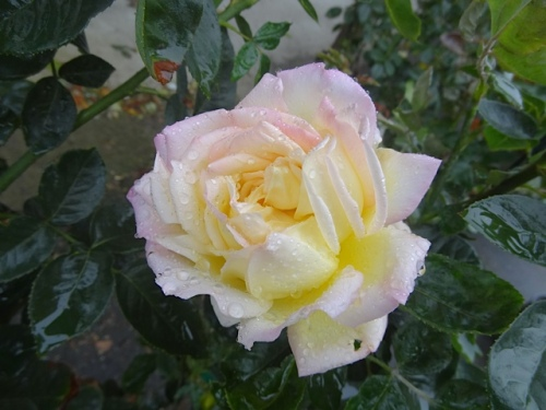 and a pretty rain-spattered rose