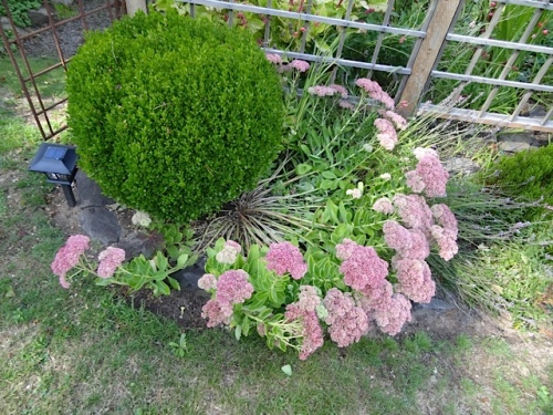 This sedum outside the fence was laid flat. I had failed to cut this one back in late spring.