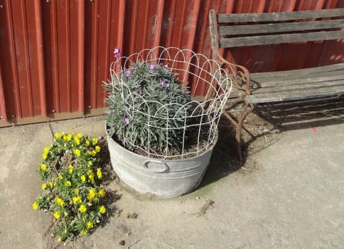 The yellow violas died in this container, and reseeded