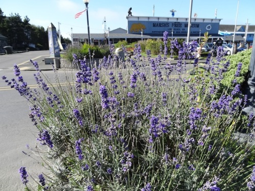 lavender at Fifth Street