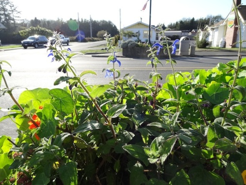 Salvia patens at 7th Street
