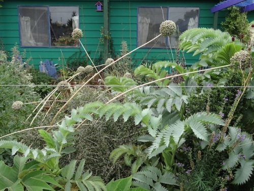 Melianthus major and criss crossed elephant garlic