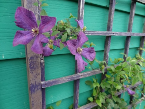 late flowering clematis