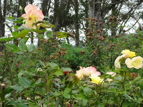 late autumn roses
