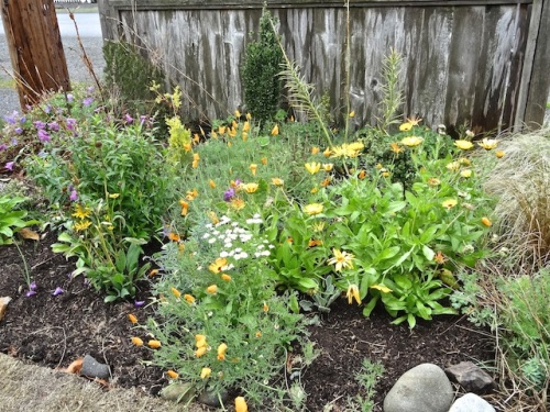 lots of calendula and California poppies have come up in the front garden.