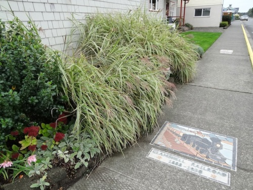 Allan trimmed some Miscanthus on the west side. Before...
