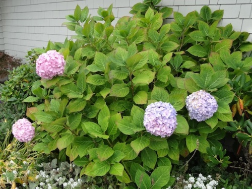 "a lovely hydrangea against the east wall in the bed called ""Peggy's Park"""